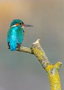 Kingfisher by Grangeflyer