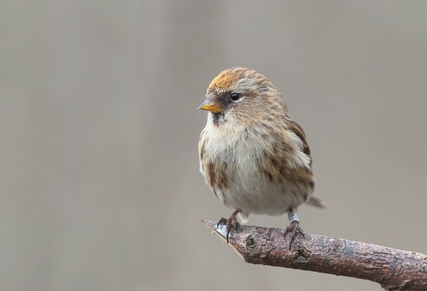 Female Redpoll by HenB