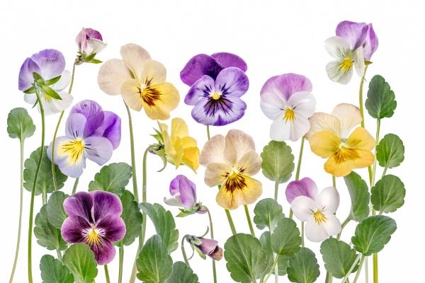 Violas by MandyD