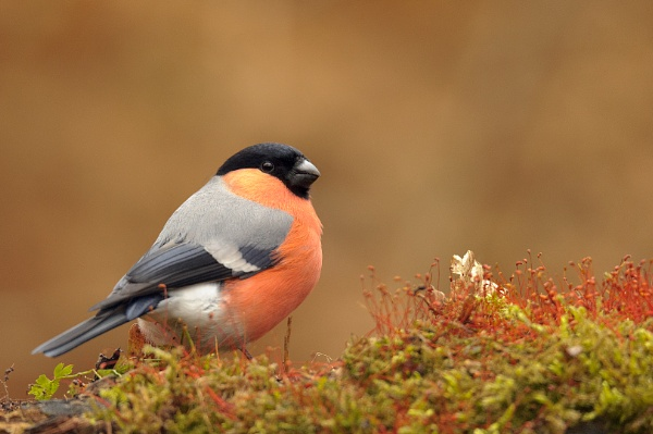 Bullfinch male by olafo