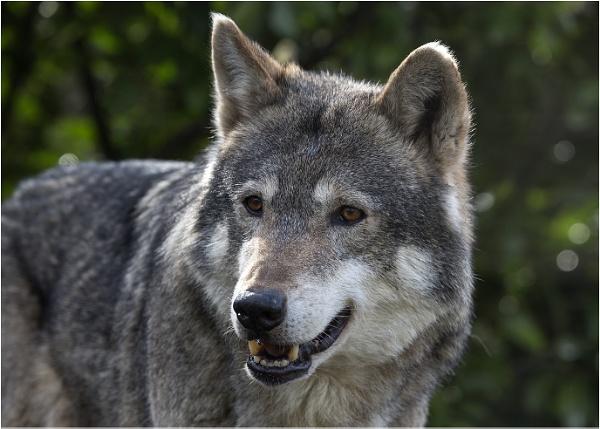 European Wolf by Lillian