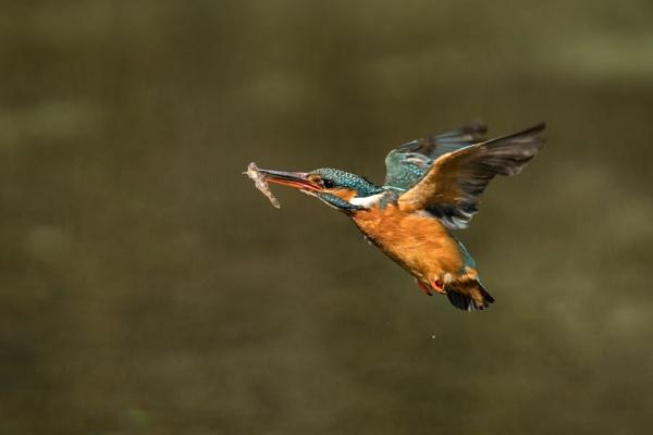 Anna the flighty bird by AlanWillis