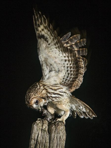 Tawny Owl by Jamie_MacArthur
