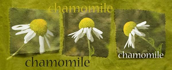 Chamomile by Irishkate