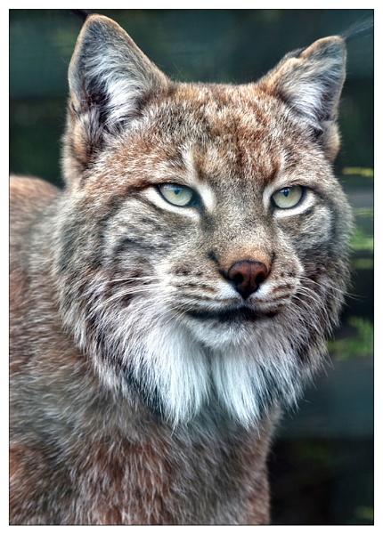 Lynx by Steinmachine