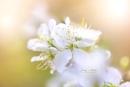 Victoria Plum Blossom by jackyp