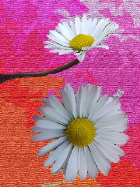 Daisies by Mototaur