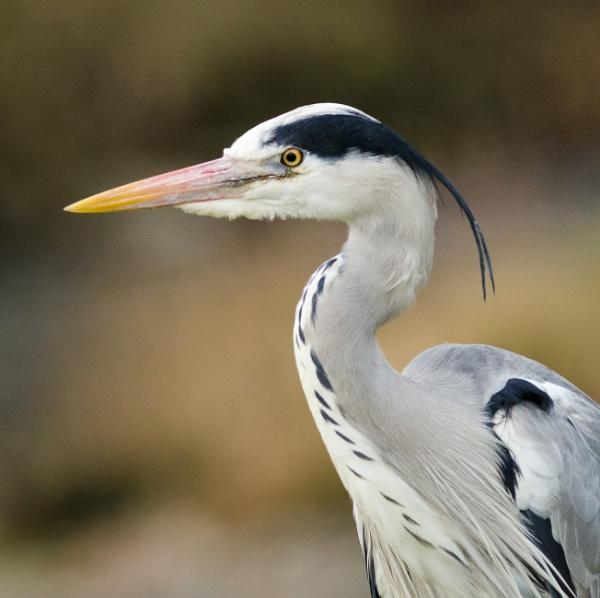Heron by max_e
