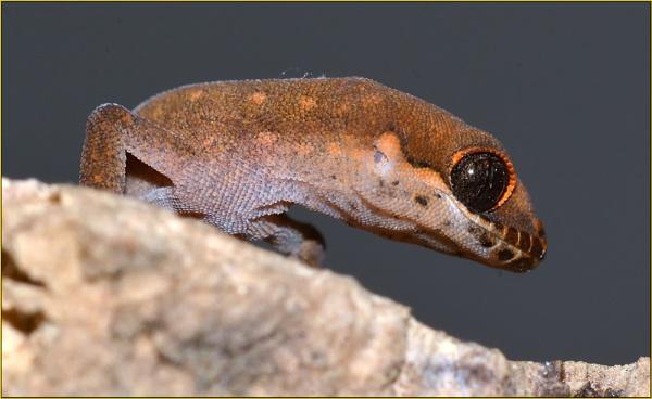 "\""House gecko\"" by fotobee"