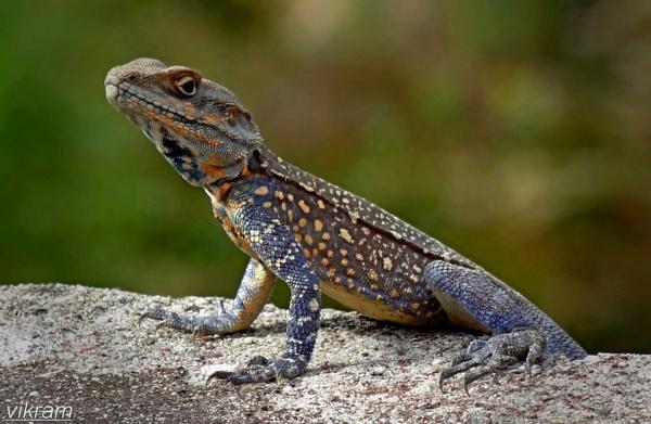 A Lizard in action by Bantu