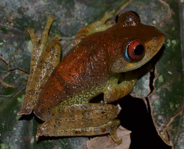 "\""Bright eyes, burning like fire!\"" - Boophis boehmei wild specimen, Madagascar. by MantellaMan"