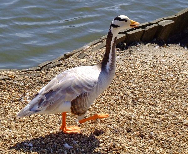 Goose step by Cephus