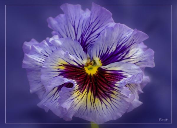 Pansy - Viola Tricolor by Umberto_V
