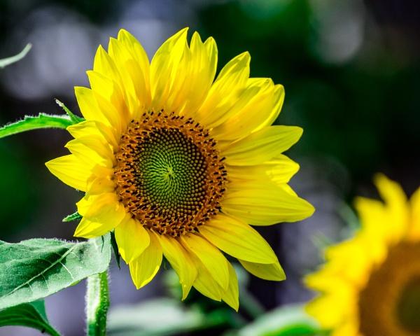 Sun Flower by mordoyne