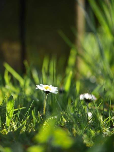 daisy by Schreima