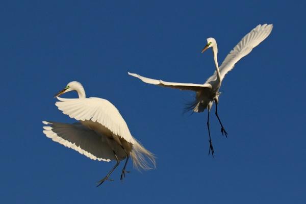 Egrets by BHSDallas