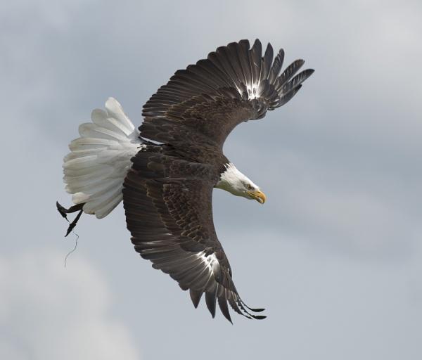 American Bald Eagle in flight. by JeanE