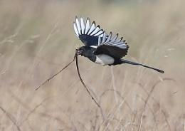 Magpie Nest Buildling