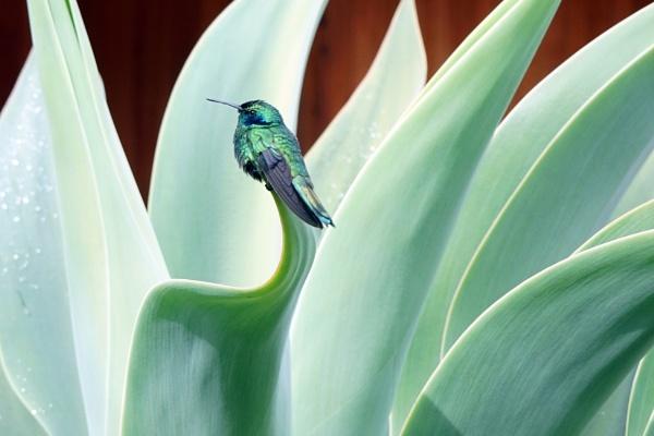 Hummingbird 3,  (Green Violet Ear) by Silverzone