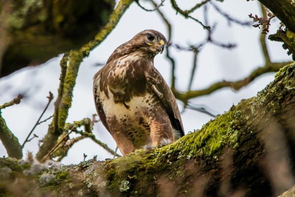 Common Buzzard by redken60