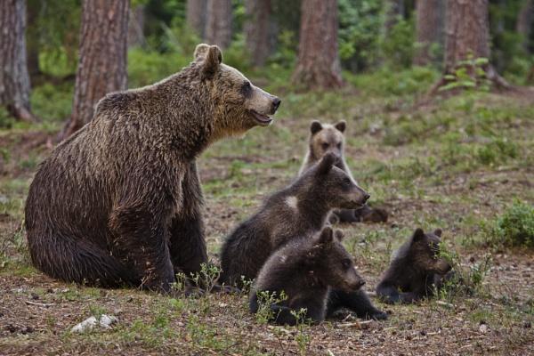 Brown Bear alert by rontear