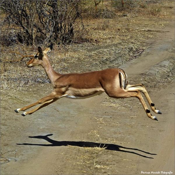 impala --- jump by papajedi