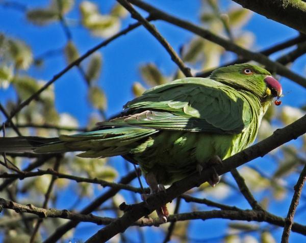 Ring-Necked Parakeet by ericfaragh
