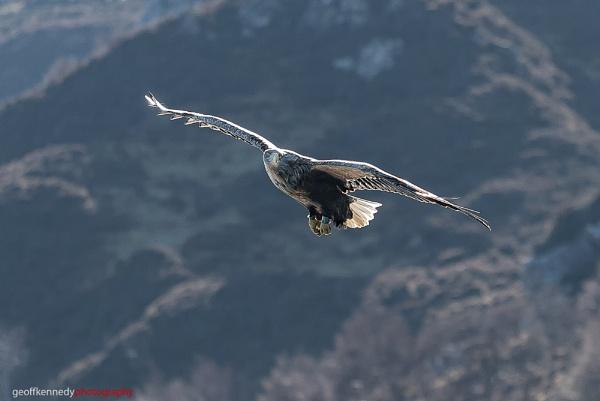Sea Eagle on Skye by geffers7
