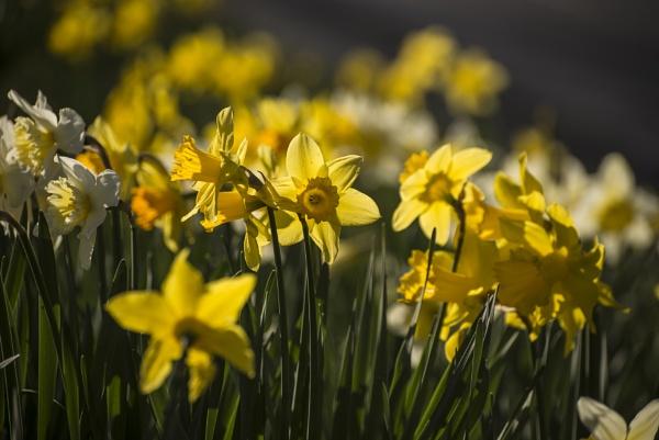 Spring Daffies by daviewat