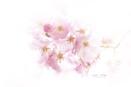 Prunus 'Accolade' Cherry Blossom by jackyp
