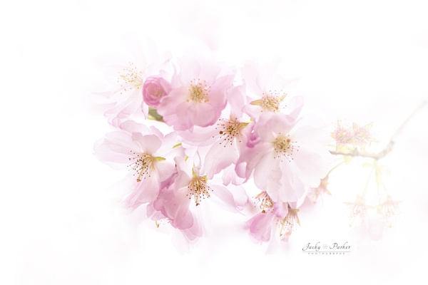 Prunus \'Accolade\' Cherry Blossom by jackyp