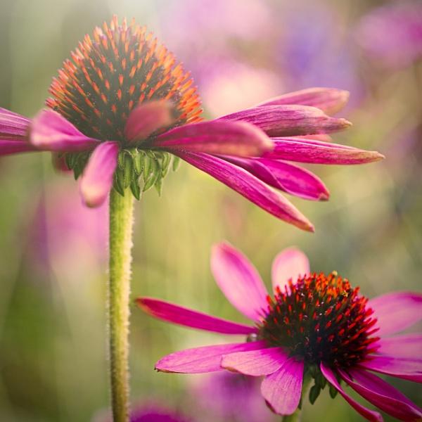 Echinacea by gowebgo