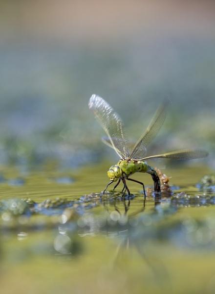 Emperor Dragonfly by gowebgo