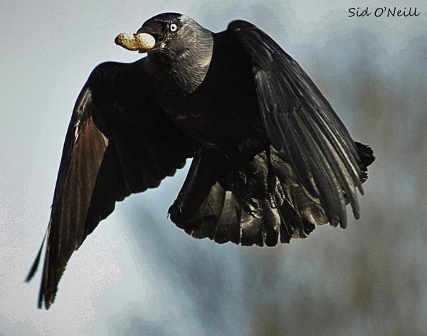 Jackdaw in flight. by sidnox