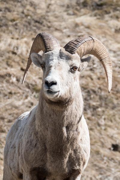 Bighorn Ram by StrayCat