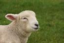 lamb by christinecilia