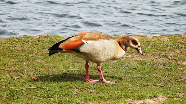 Egyptian Goose by mrcoradour