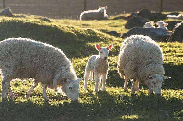 Lambs Delight by Trevhas