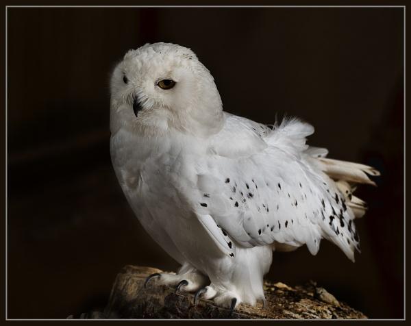 Snowy Owl by Cynog
