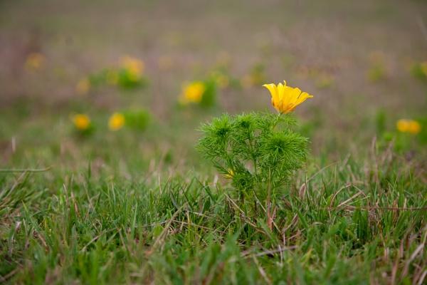 Adonis vernalis L., Crimea by Gino_Munnich