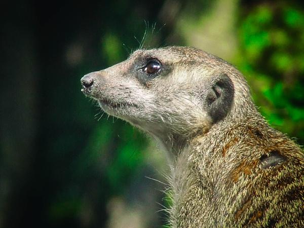 A meerkat in the Animal Kingdom at Walt Disney World by Nick_El