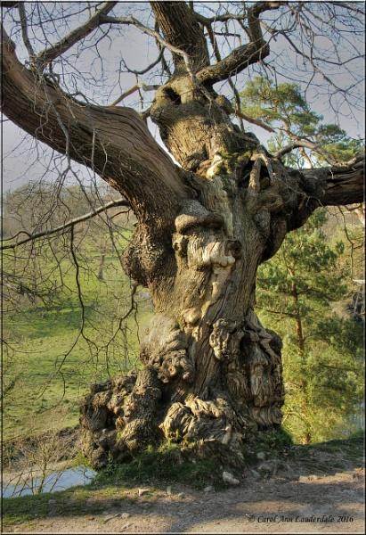 Ancient Tree by CarolAnnLauderdale