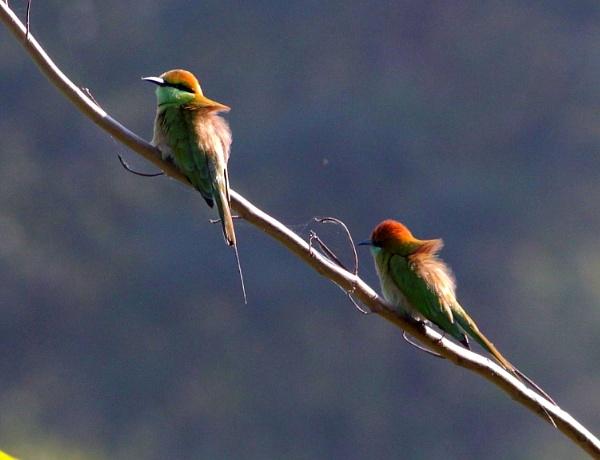 Green bee eaters.. by rajibcee1