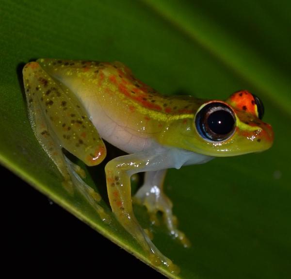 Boophis rappiodes male specimen, Madagascar. by MantellaMan