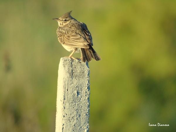 Crested lark 2 (Galerida cristata) by idiabb