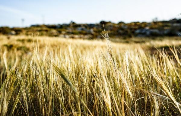 The golden wheat by Sillu