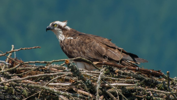 Osprey and Nest by dhpaget