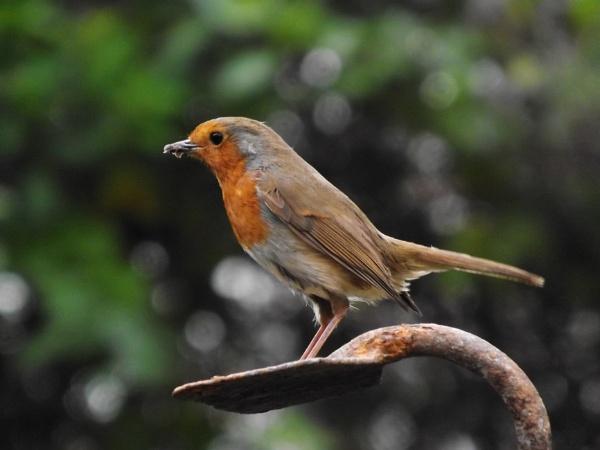 Garden Robin by Crespo