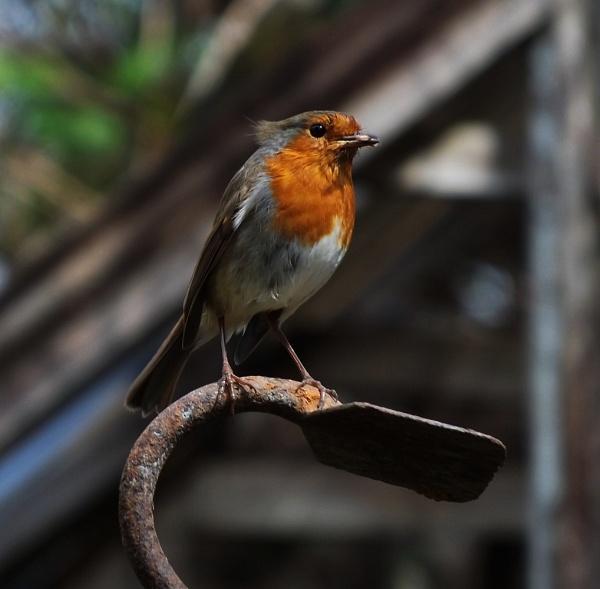 Spring Robin by Crespo