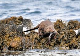 Wild sea otter